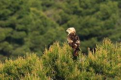 Águila culebrera - circaetus gallicus