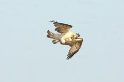 Águila pescadora - pandion haliaetus