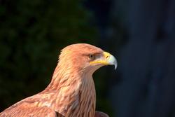 Águila imperial - aquila adalberti