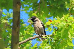 Corneja cenicienta - corvus cornix