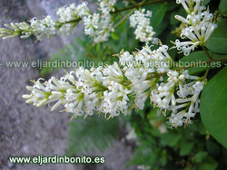 Aligustre, alheña - Ligustrum vulgare