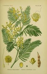 Acacia dealbata - Mimosa - Acacia  dealbata