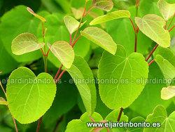 Árbol de Katsura - Cercidiphyllum japonicum