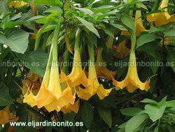 Árbol   de las trompetas, floripondio, trompeta de ángel - Brugmansia spp, Datura spp