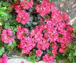 Azalea - Rhododendron spp