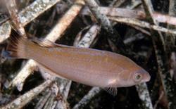 Llambrega - Symphodus melanocercus