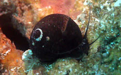 Caracolillo negro - Diloma nigerrima