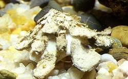 Crispa - Xenophora crispa
