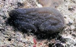 Ascidia negra - Phallusia fumigata