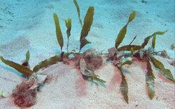 Caulerpa - Caulerpa prolifera